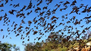 giant fruit bat migration