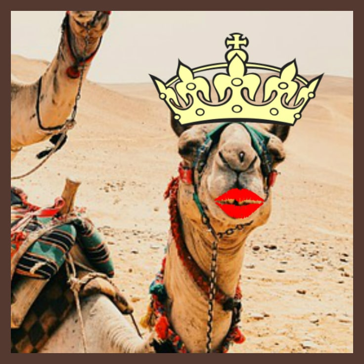 12 Camels Booted Out of Beauty Contest for Using Botox