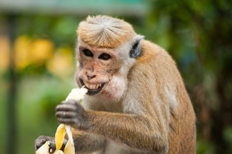 Monkeys do not own the Copyright of their own selfies