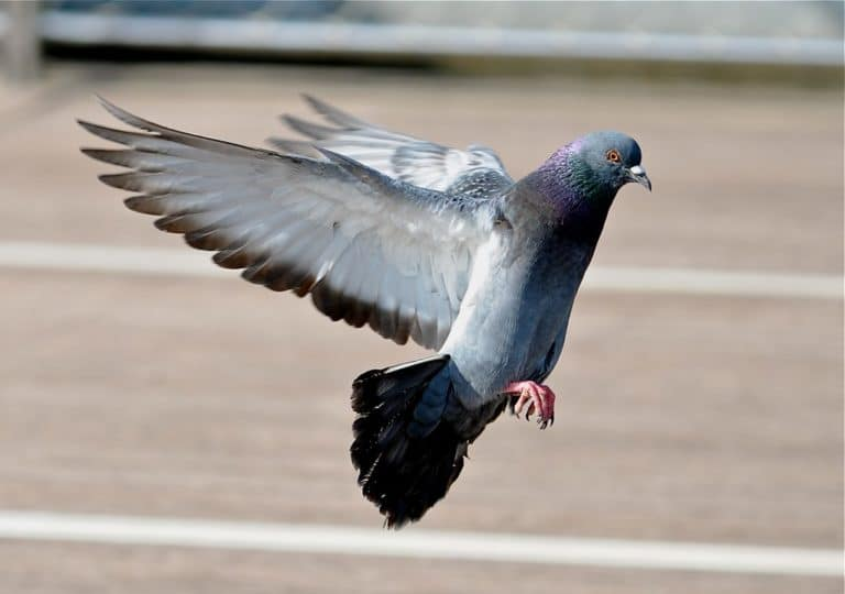 Smart Birds: Pigeons Actually Understand Time and Distance