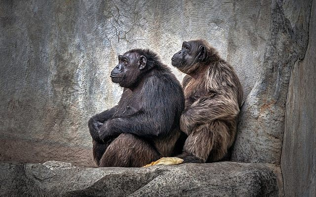 Yet Another Heart-Warming Way Apes Better Us at Being Human