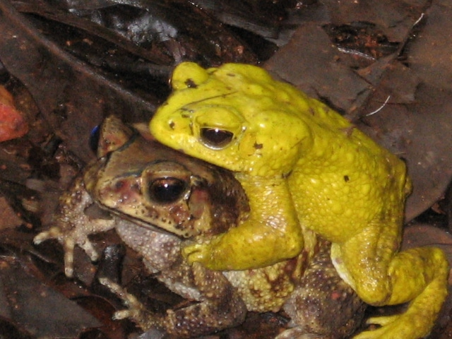 Frogs That Change Colors During Orgies