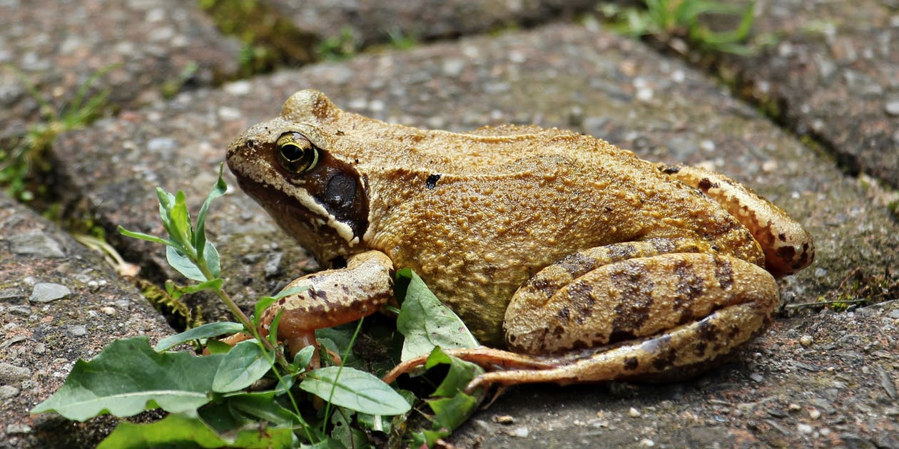 Giant Ancient Frogs Used to Gobble Down Baby Dinosaurs