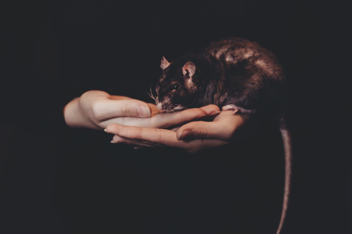 Infection with Rare Virus Linked Back to Pet Rats of a Teen