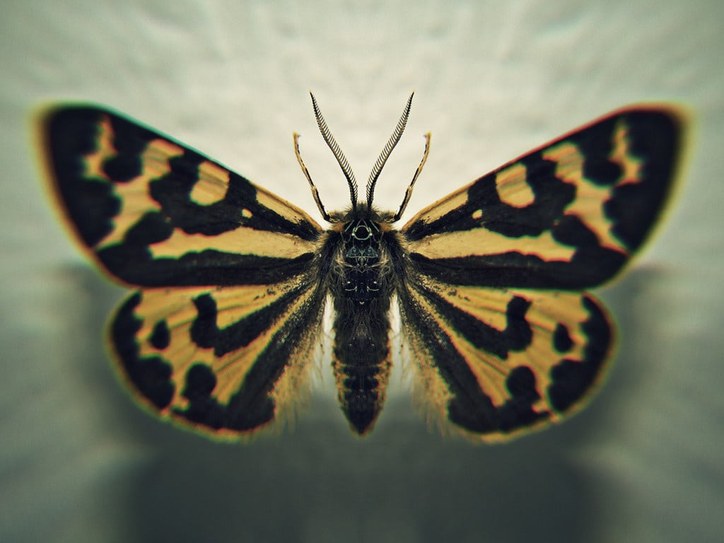 Moth Creates Unique Chemical Weapons for Each Predator